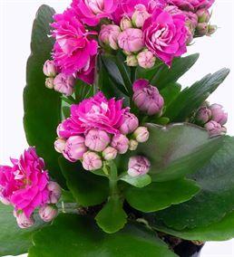 Think Saksıda Pembe Kalanchoe Çiçeği