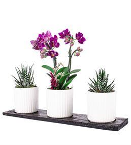 Trio Mini Orkide Ve Haworthia Tasarım