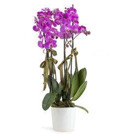 Tutkulu Sevgi 4 Dal Mor Orkide