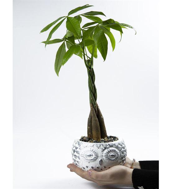 Baykuş Serisi Beyaz saksıda Para Ağacı Bonzai