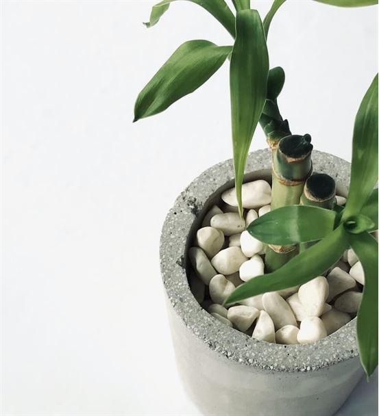 Beton Saksıda İkili Şans Bambusu