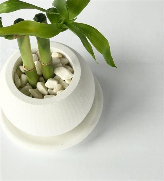 Beyaz Beton Saksıda İkili Şans Bambusu