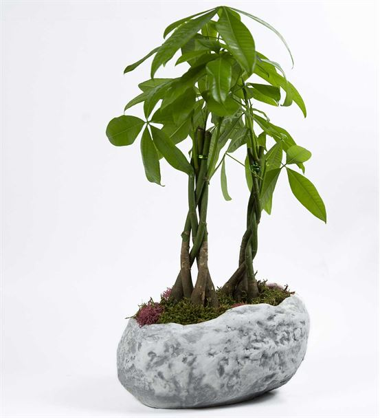 Büyük Kaya Saksıda Bonzai Para Ağacı