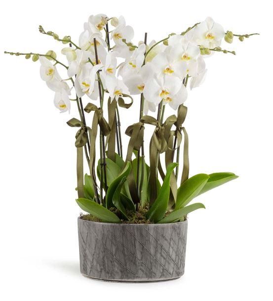 Castenaso 8 Dal Beyaz Orkideler