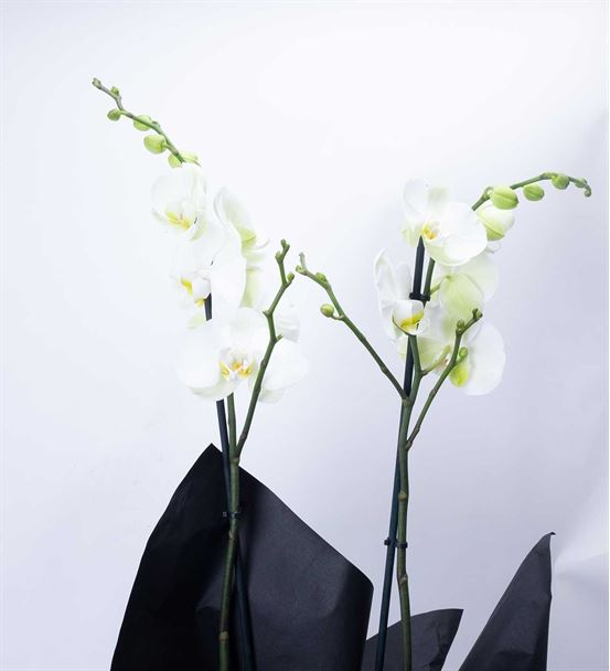 Çift Dal Beyaz Phalenopsis Orkide