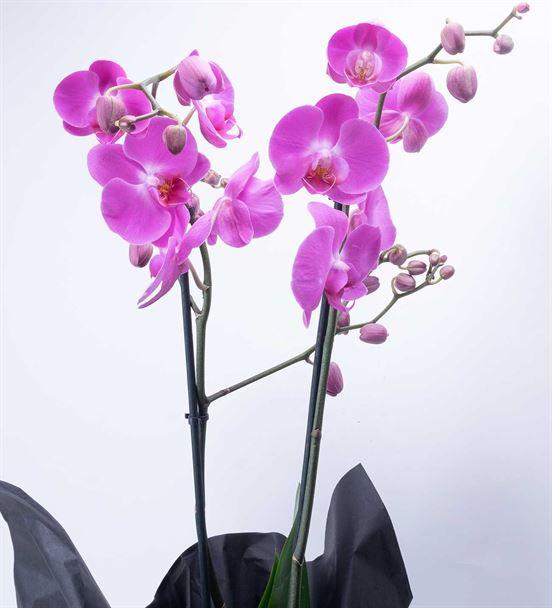 Çift Dal Mor Phalenopsis Orkide