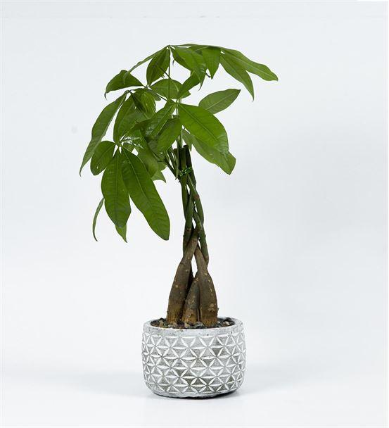 Dekoratif saksıda Para Ağacı Bonzai