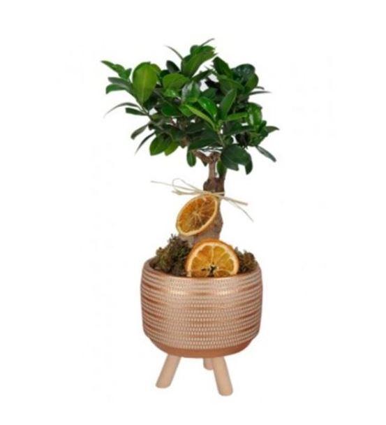 Dekoratif Vazoda Gingseng Bonsai