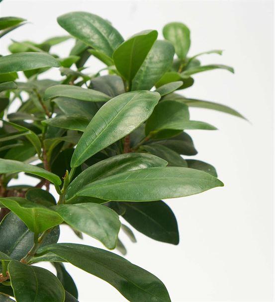 Ficus Ginseng Bonsai Ağacı 45cm