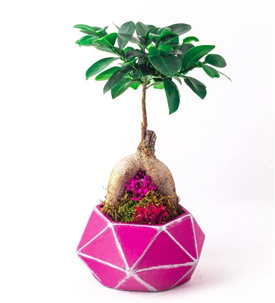 Fuşya Dokuzgen Saksıda Ficus Bonzai