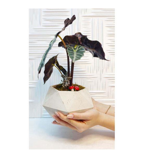 Geometrik Saksıda Çiçek Alocasia Sanderiana