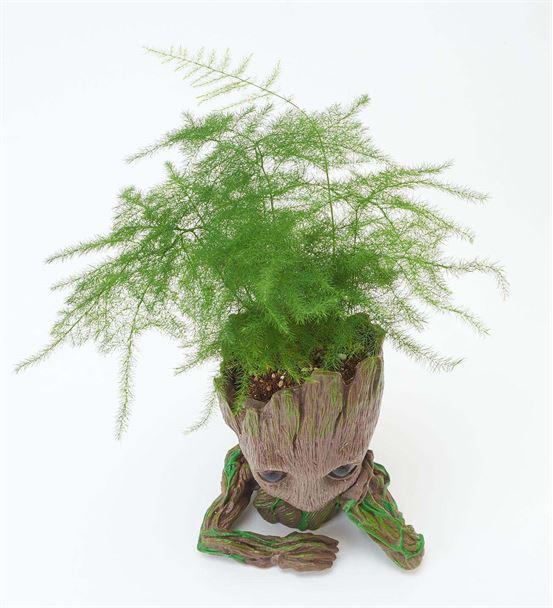 Groot Saksı Asparagus Bitkisi
