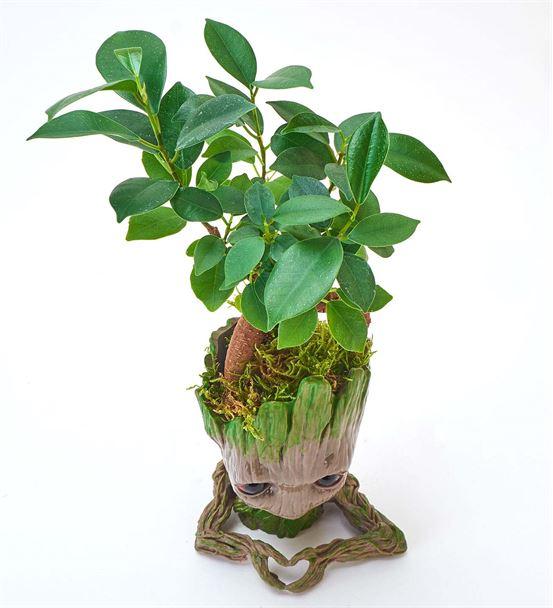 Groot Saksı Kalp Figürlü Ficus Bonsai