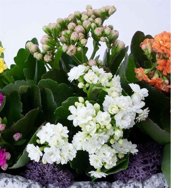 Kalanchoe Çiçeği Aranjmanı