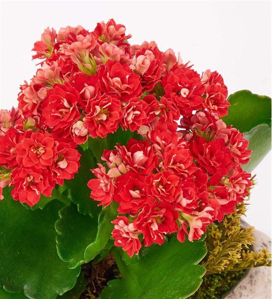 Kapadokya Kırmızı Kalanchoe Saksı Çiçeği