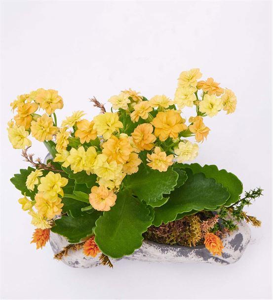 Kapadokya Sarı Kalanchoe Saksı Çiçeği