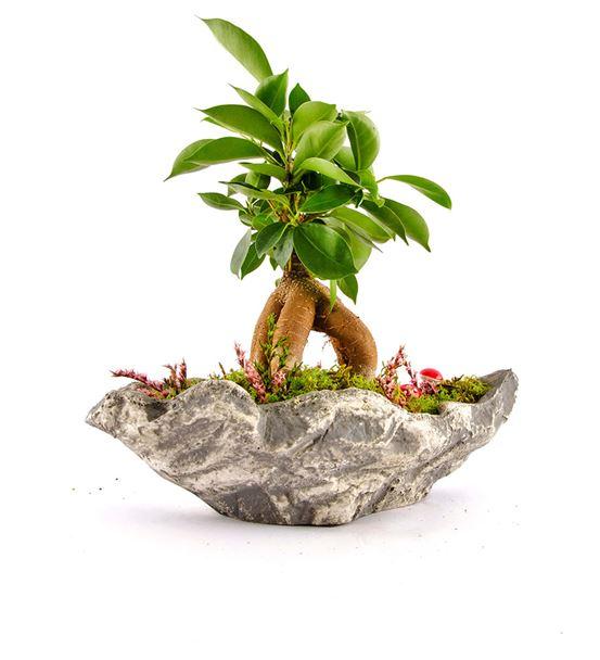 Kaya Serisi Ficus Bonsai
