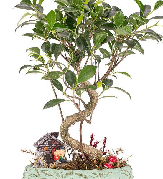 Leaf Serisi - S Gövde Ficus Ginseng Bonsai Tasarım