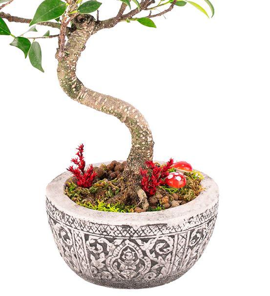 Lost Serisi - S Gövde Ficus Ginseng Bonsai Tasarım