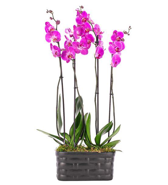 Mat Siyah Saksıda 4 Dal Pembe Orkide Tasarım