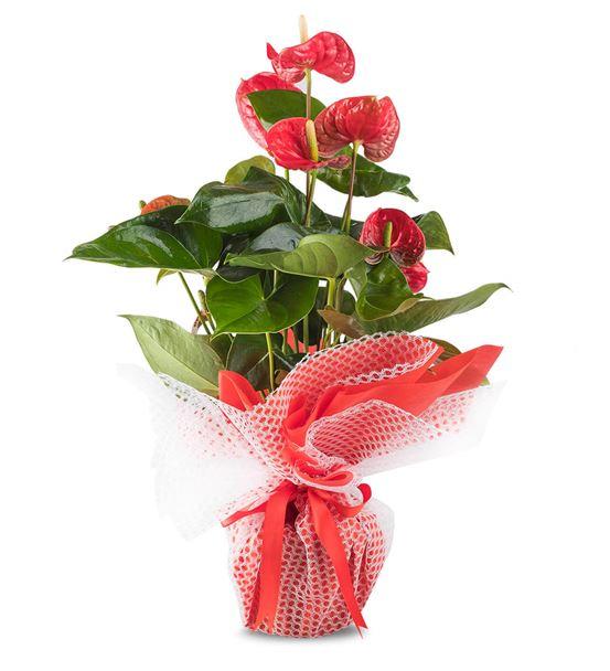 Mutluluk Kırmızısı Antoryum Çiçeği