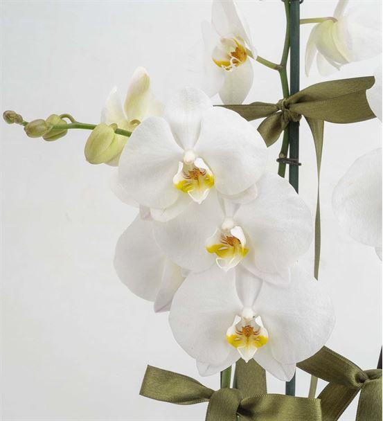 Neşeli 3 Dal Beyaz Orkide Çiçeği