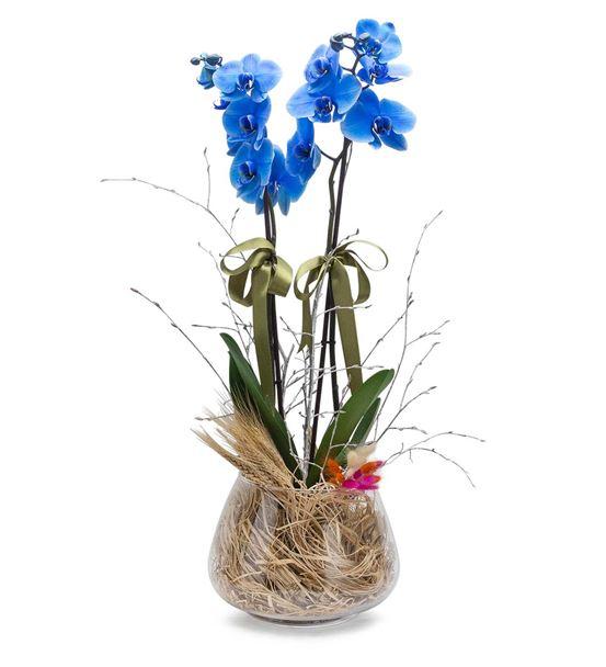 Pure Beauty Cam Fanusta İki Dal Mavi Orkide