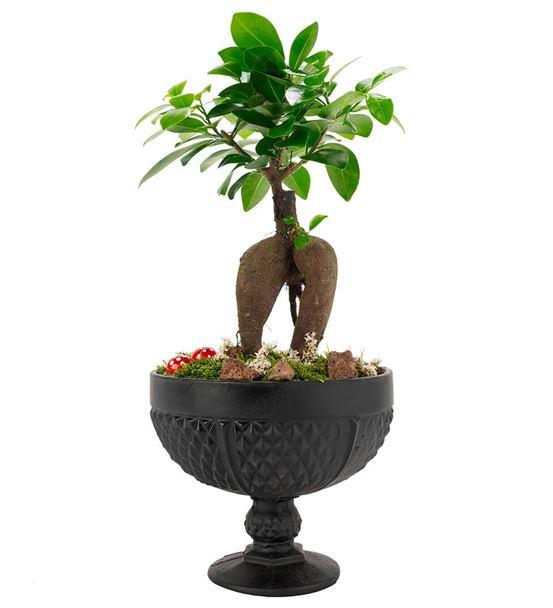 Rita Serisi Ficus Ginseng Bonsai