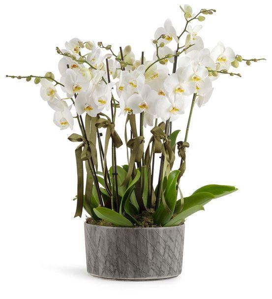 San Marino 10 Dal Beyaz Orkideler