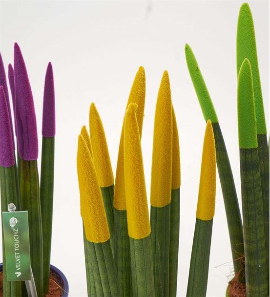 Sansevieria 3'lü Kılıç Çiçeği Bitkisi