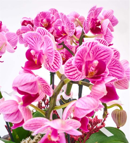 Taş Saksıda 6 Dal Mini Mor Orkide Aranjmanı