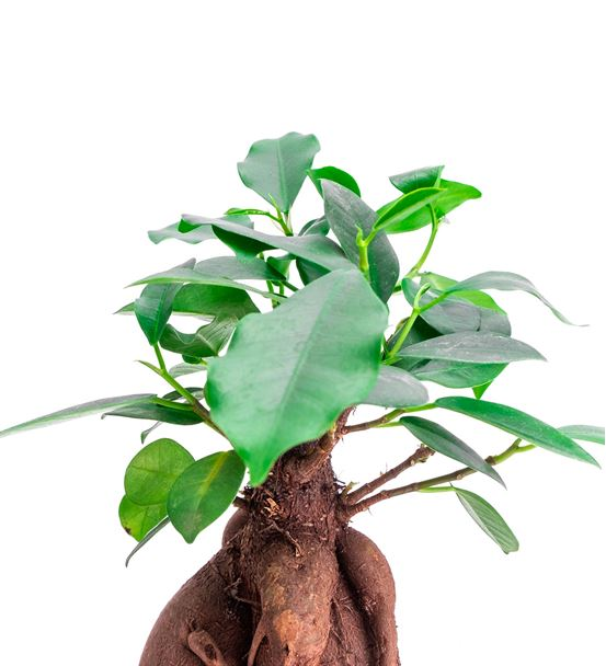 Taş Saksıda Ficus Bonsai