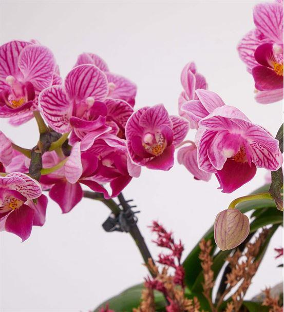 Taş Saksıda Mini 2 Dal Mor Orkide