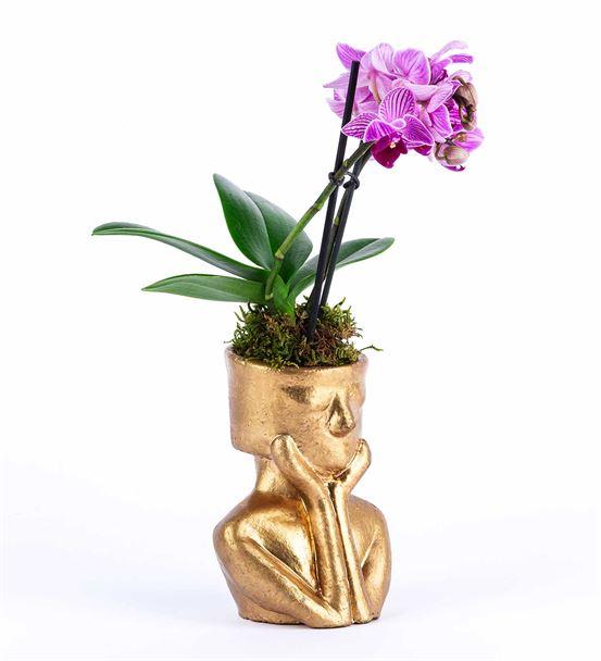 Tink Serisi Gold Saksıda  Mini Orkide