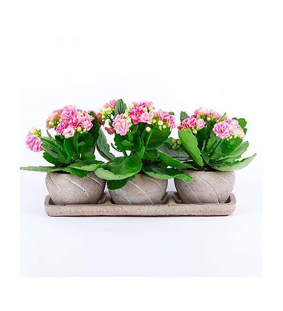 Trio Bend Saksı Serisi Pembe Kalanhoe Saksı Çiçeği
