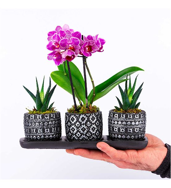Trio Motif Desenli Saksıda Mini Orkide Howartia