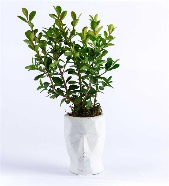 V zone serisi beyaz Saksıda Buxus bonzai